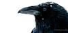 Portrait of a Raven