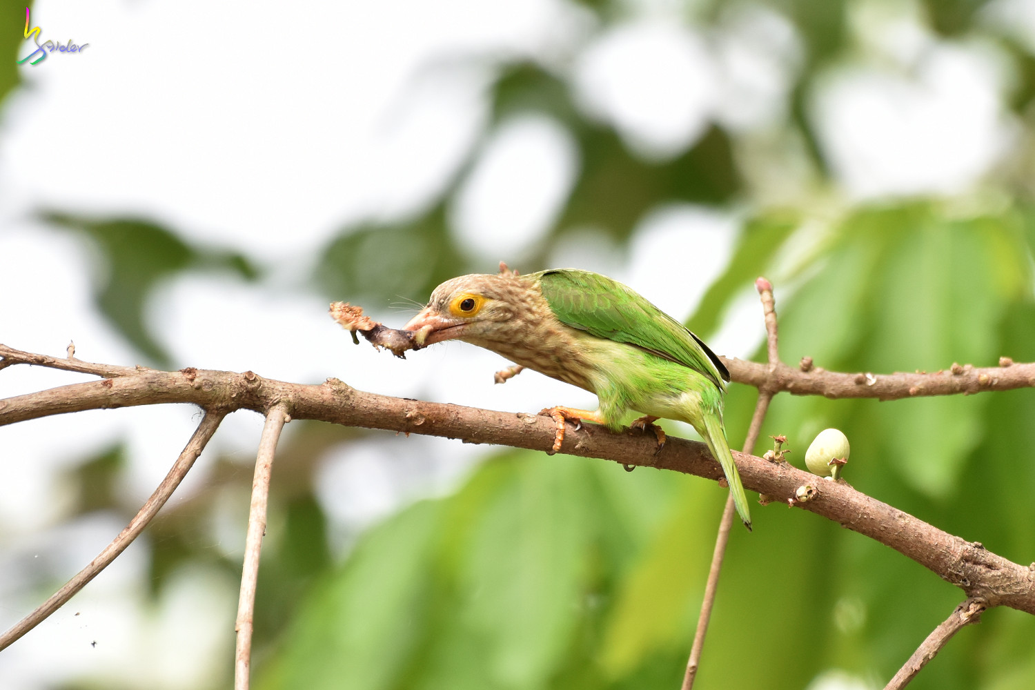 Lineat_Barbet_1689