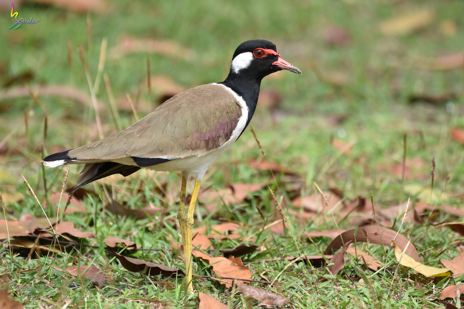 Red-wattled_Lapwing_1496