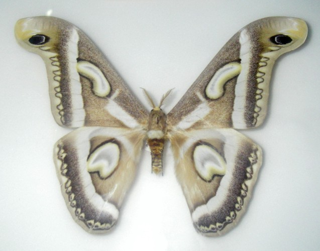 Epiphora rectifascia 39488185714_e987bf650b_o