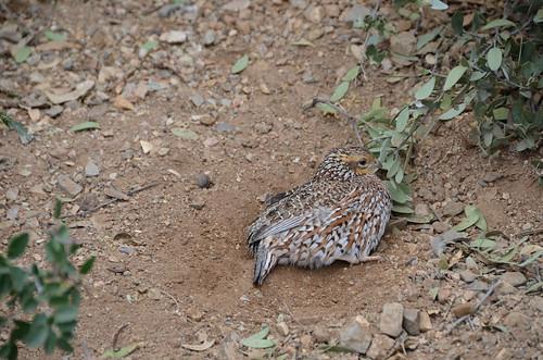 Desert Museum quail