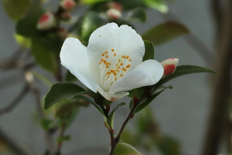 Camellia luchuensis Ito  ヒメサザンカ