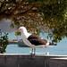 Small photo of Karoro, the black-backed gull Akaroa