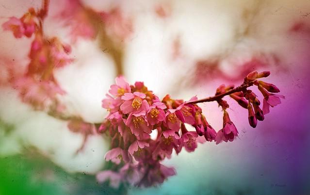 Tree in Blossom ...