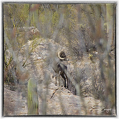 Ram Through Ocotillo