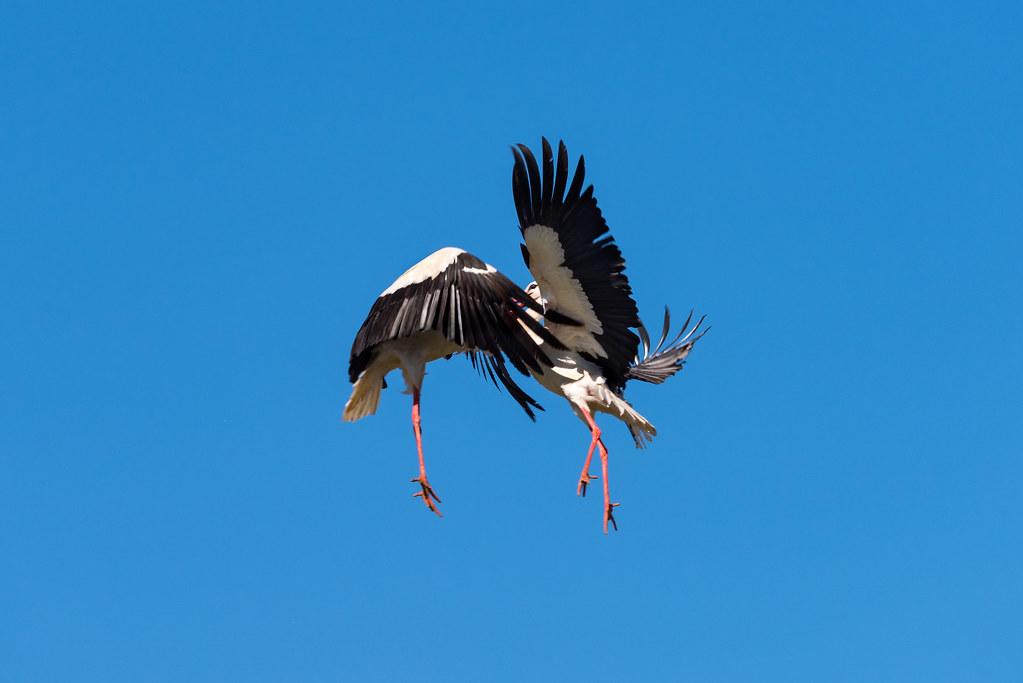 White Storks Fighting (Shot 5 of 11)