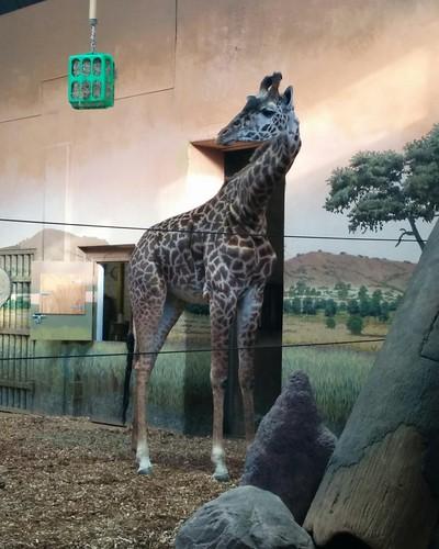 Giraffe (2) #toronto #torontozoo #mammal #giraffe #latergram