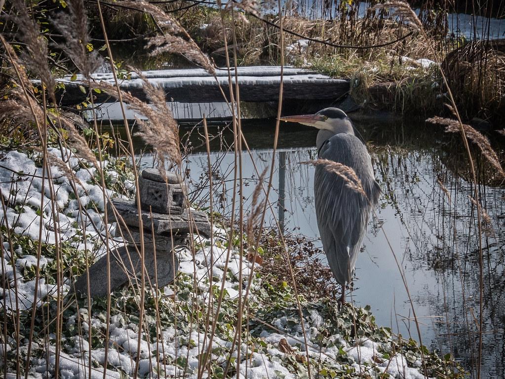 Un héron en hiver... 26246255108_50e361e574_b