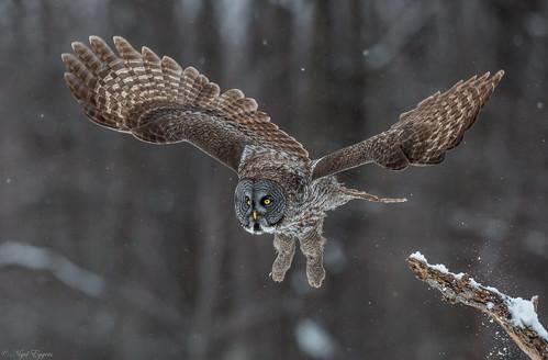 greatgrayowl greatgreyowl grayowl greyowl owl phantomofthenorth cinereousowl spectralowl laplandowl spruceowl beardedowl sootyowl strixnebulosa strix strigidae typicalowl trueowl nigelje montreal québec canada