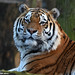 Siberian tiger - Ouwehands Dierenpark by Mandenno photography