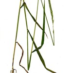 Elymus trachycaulus