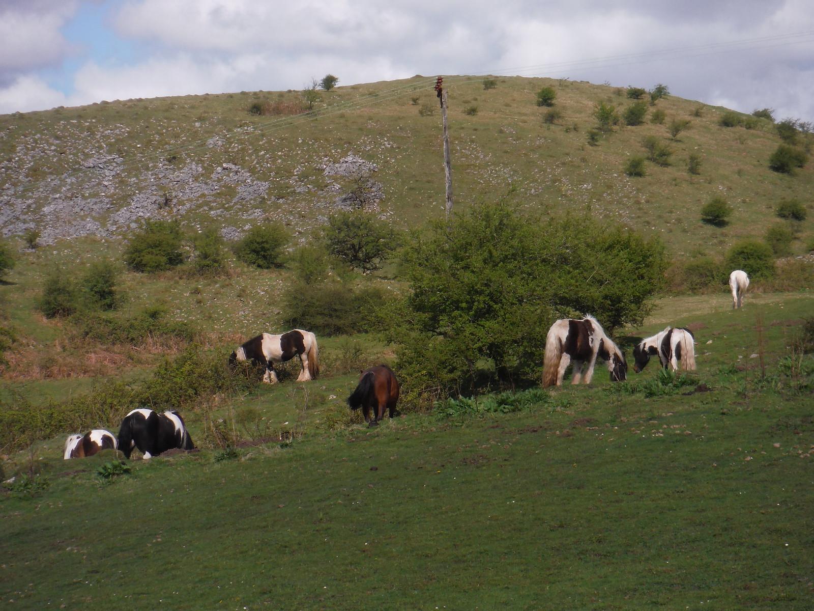 Hill Ponies, Allt Rhongyr SWC Walk 307 - Fforest Fawr Traverse (Craig y Nos to Llwyn-y-celyn)