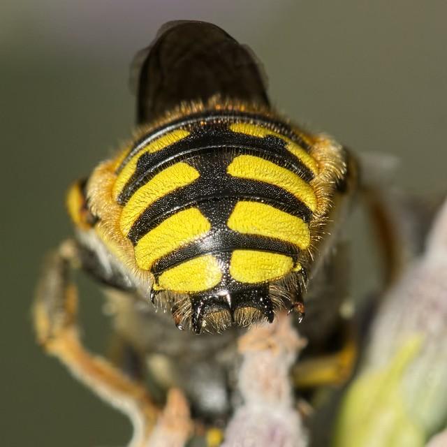 Anthidium manicatum M