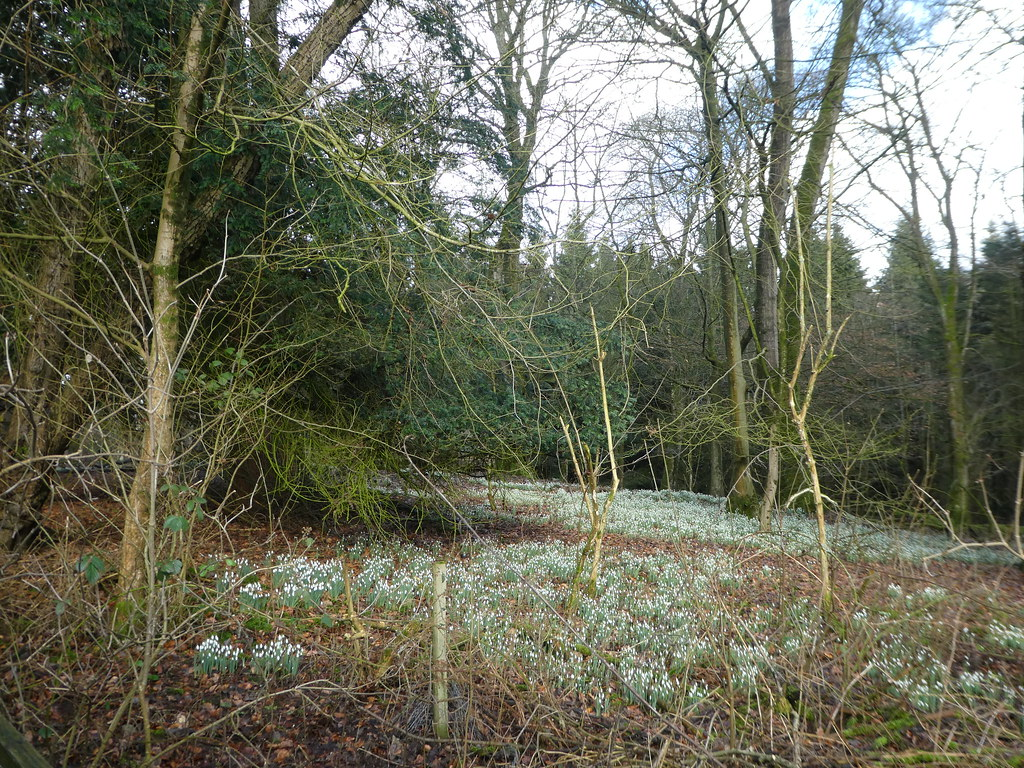 Snowdrops in the Strid Woods, Bolton Abbey