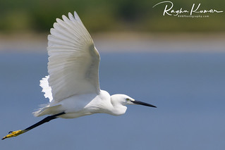 Egrets @ Pulicat Lake, India