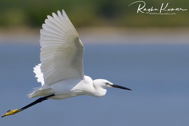 Egrets @ Pulicat Lake, India