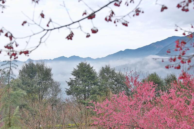 櫻花與雲海