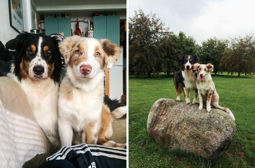 elämä kahden koiran kanssa-34-tile