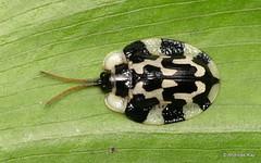 Tortoise beetle, Aslamidium capense, Cassidinae