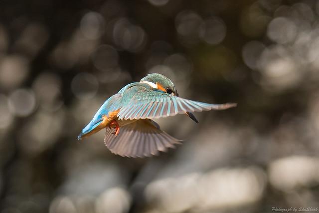 20180127-kingfisher-DSC_5962