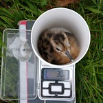 Godwit chick is weighed Credit RSPB
