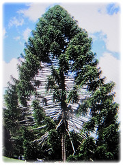 Conical tree of Araucaria bidwillii (Bunga Pine, Bunya-Bunya Tree, False Monkey Puzzle Tree, Queensland Pine) that can grow up to 45 m tall, 8 Feb 2018