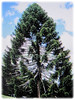 Araucaria bidwillii (Bunga Pine, Bunya-Bunya Tree, False Monkey Puzzle Tree, Queensland Pine)