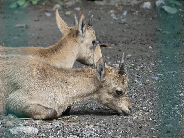 Himalaya-Thar, Zoo Dresden