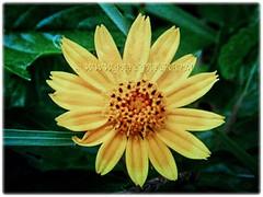 Mesmerising flower of Sphagneticola trilobata (Singapore Daisy, Creeping-oxeye, Trailing Daisy, Wedelia), Feb 22 2018