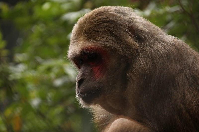 Hai Duong Pagoda macaques