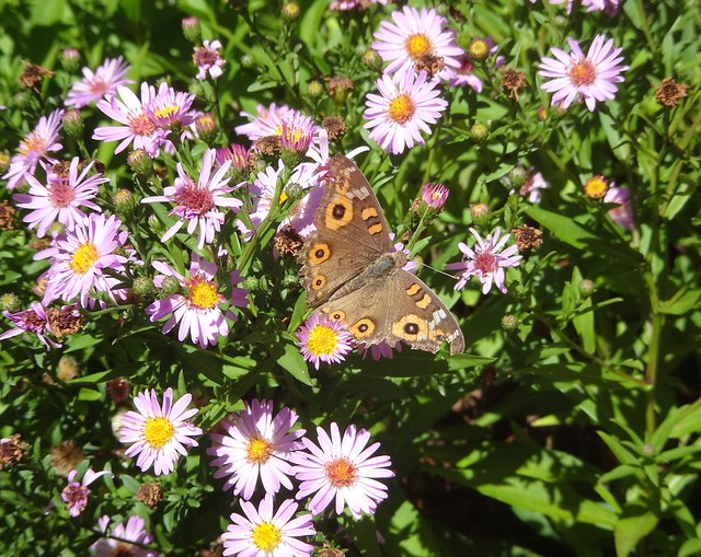 Meadow Argus Butterfly, Sony DSC-HX90V, Sony 24-720mm F3.5-6.4