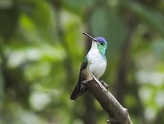 Andean Emerald (Amazilia franciae)