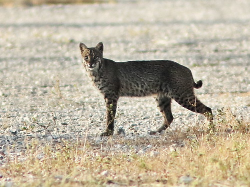 Bobcat 002 CROP-20180219