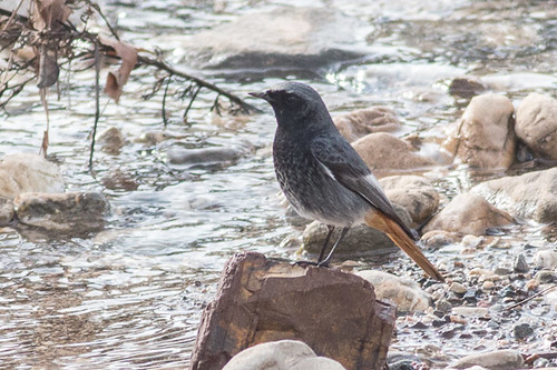 Black Redstart - male