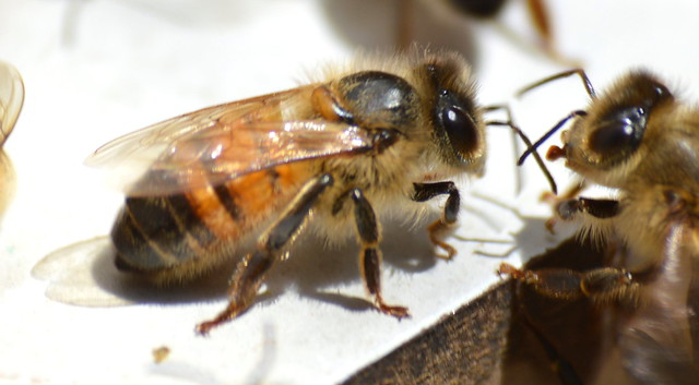black tip bee (3), Nikon D3200, Sigma 70-300mm F4-5.6 APO DG Macro HSM