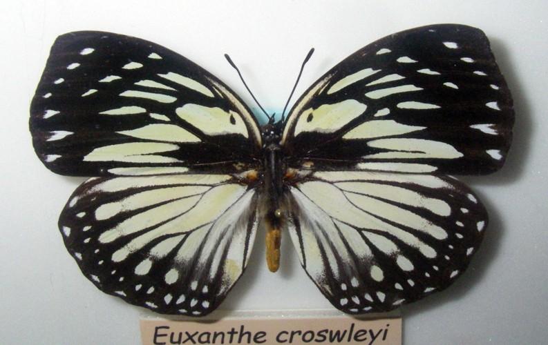 Euxanthe crossleyi 26717935318_bfd406af87_o