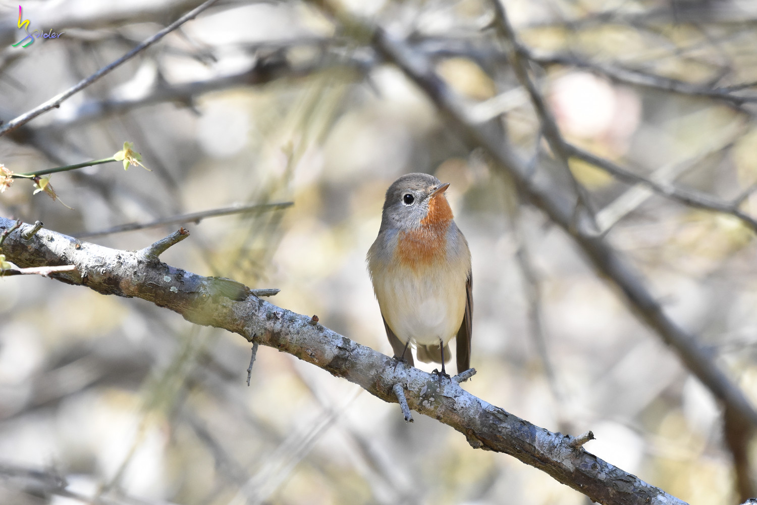 Red-breasted_Flycatcher_6417