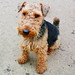 Gower the Welsh Terrier
