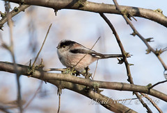 Mésange à longue queue - Aegithalos caudatus - Long-tailed Tit : Michel NOËL © 2018-7903.jpg