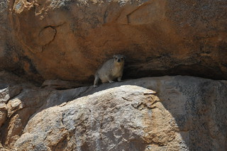 Daman, They are known as dassies in Namibia