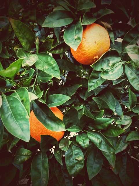 Oranges on our tree