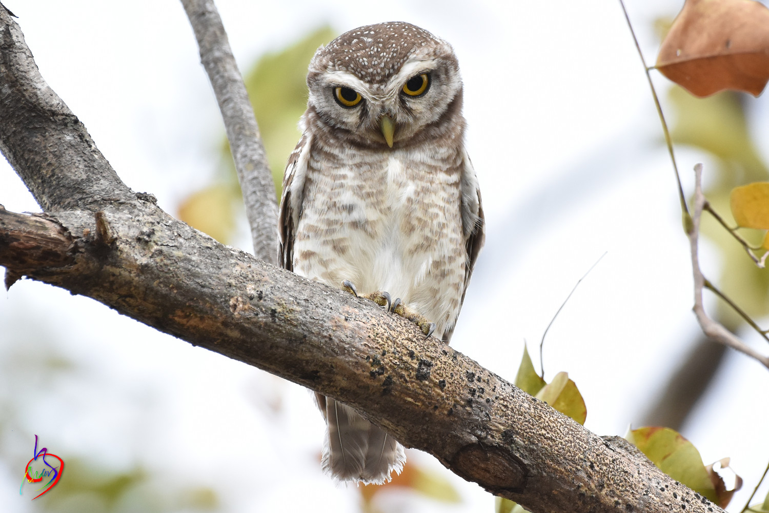 Spotted_Owlet_3793