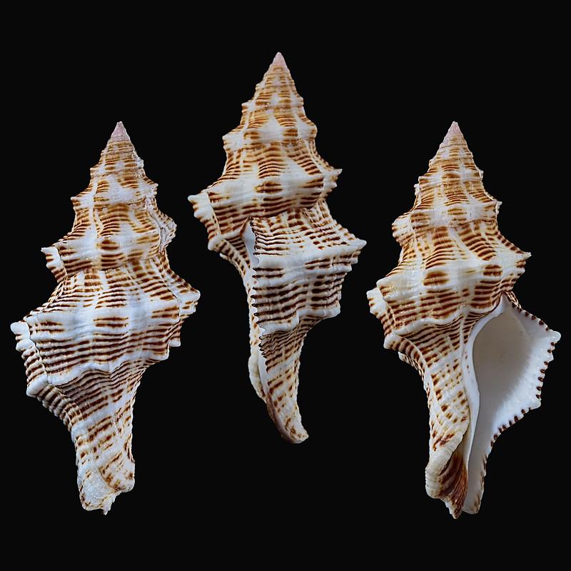 Latirus philberti - (Récluz, 1844) 28096544459_74987ec53d_c
