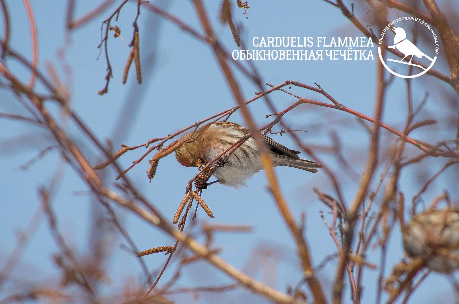 Carduelis flammea // 20180226