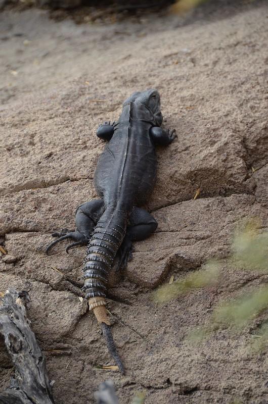 Desert Museum Lizard