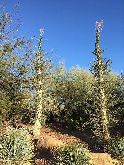 Fouquieria columnaris - Boojum Tree