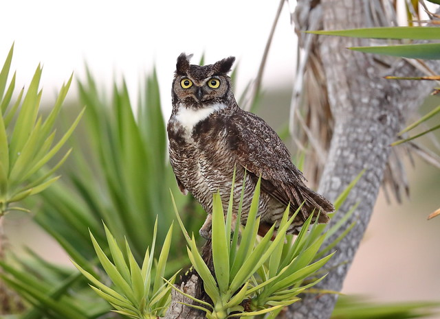 Great horned owl on, Canon EOS-1D X MARK II, Canon EF 600mm f/4.0L IS II USM