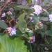 Early Butterfly
