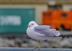 Ring-billed Gull, Red Hook, Brooklyn