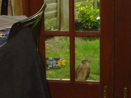 Sparrow Hawk At The Door